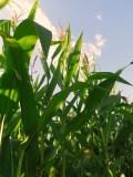 The corn is as high as an elephants eye!